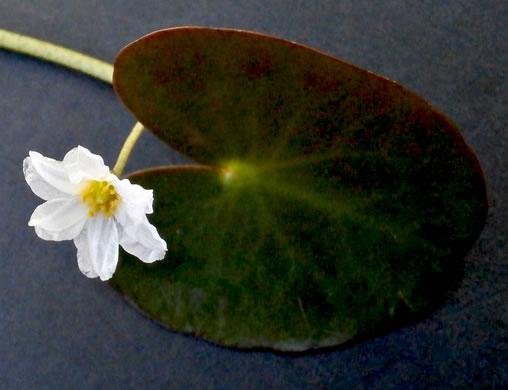flower of Nymphoides cordata, Little Floating Heart