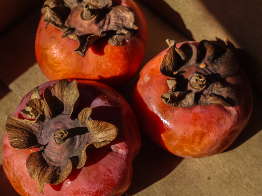 fruit of Diospyros kaki, Japanese Persimmon, Kaki-plum, Kaki