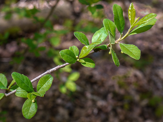 image of Ilex cuthbertii, Cuthbert Holly
