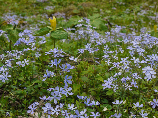image of Phlox divaricata, Eastern Blue Phlox, Timber Phlox, Blue Woodland Phlox