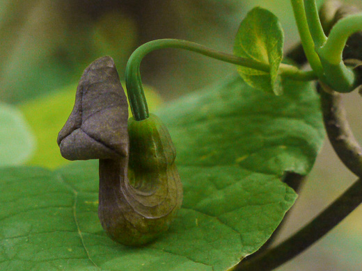 picture of Aristolochia macrophylla, image of Isotrema macrophyllum