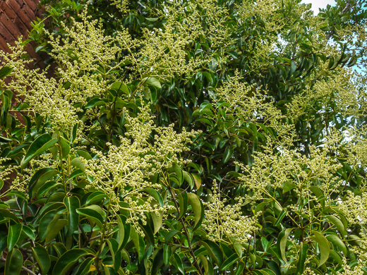 image of Ligustrum japonicum, Japanese Privet