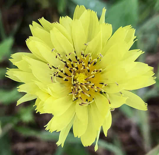 image of Pyrrhopappus carolinianus, Carolina False Dandelion