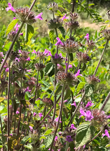 image of Clinopodium vulgare, Wild Basil