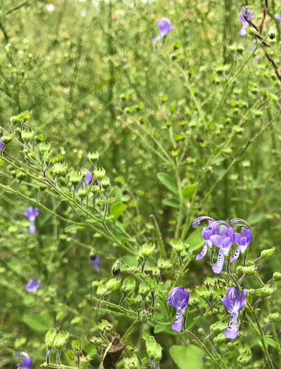 image of Trichostema dichotomum, Forked Bluecurls, Common Blue Curls