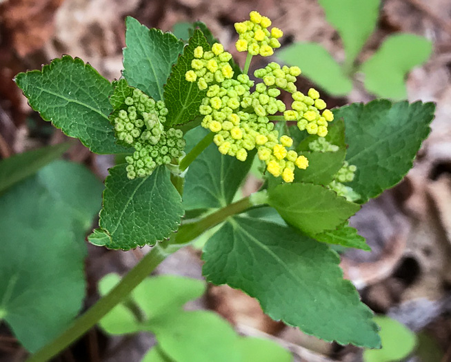 flower of Zizia aptera, Heartleaf Golden Alexanders, Heartleaf Alexanders