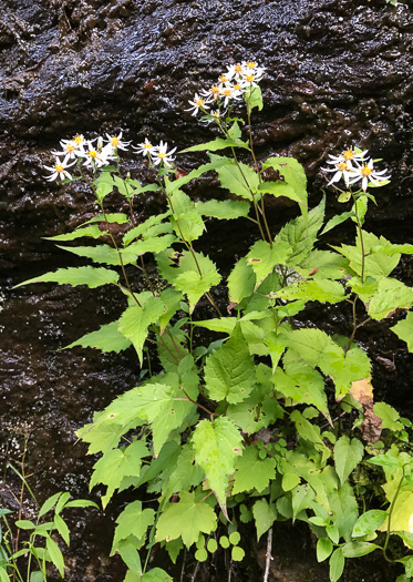 image of Eurybia divaricata, White Wood Aster, Woodland Aster, Common White Heart-leaved Aster