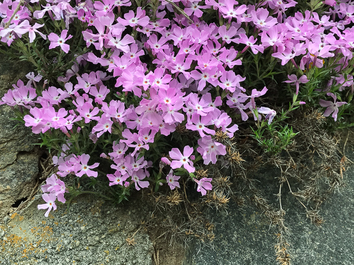 "flower of Phlox subulata, Moss Phlox, Mountain-pink, ""Thrift"""