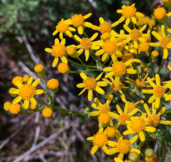 flower of Packera anonyma, Small's Ragwort, Squaw-weed, Appalachian Ragwort