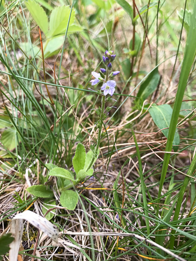 image of Veronica officinalis, Common Speedwell, Gypsyweed, Heath Speedwell