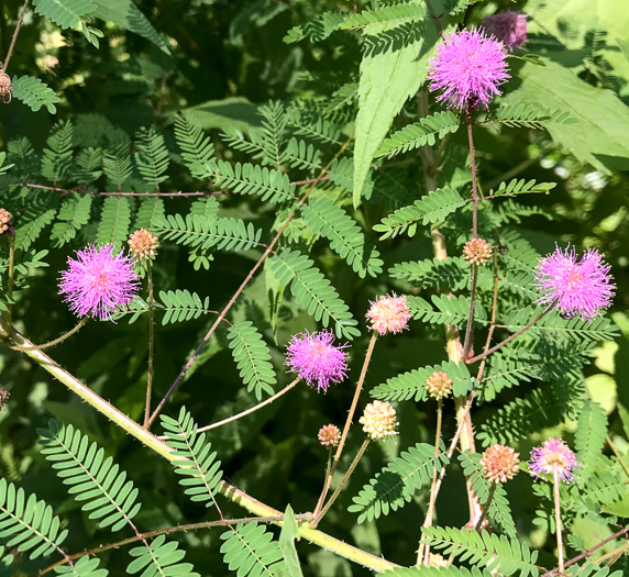 Mimosa microphylla, Littleleaf Sensitive-briar, Eastern Sensitive-briar