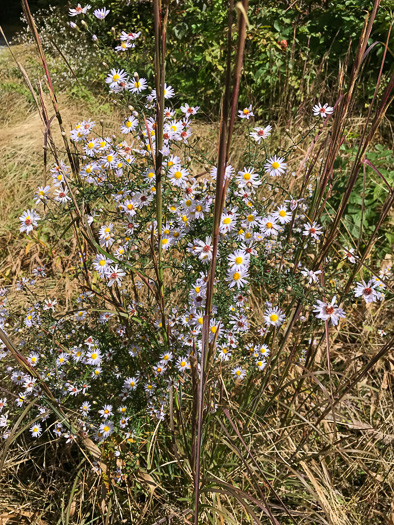 image of Symphyotrichum dumosum +, Bushy Aster, Long-stalked Aster, Rice-button Aster
