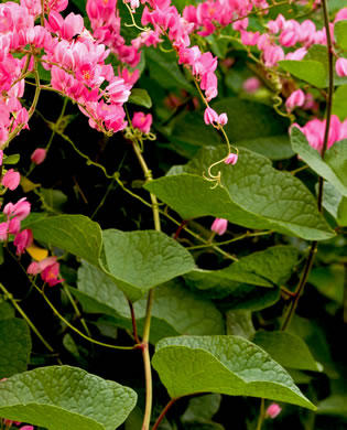 image of Antigonon leptopus, Love-chain, Queen's-jewels, Confederate-vine, Corallita