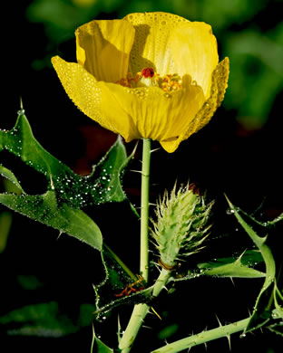 flower of Argemone mexicana, Mexican Prickly-poppy, Mexican Poppy