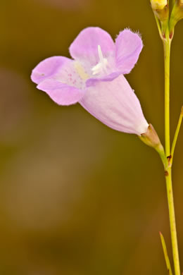 Agalinis purpurea, Purple Gerardia, Purple False Foxglove