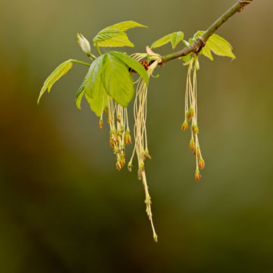 image of Acer negundo var. negundo, Eastern Box Elder, Ash-leaved Maple