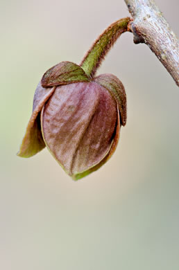image of Asimina triloba, Common Pawpaw, Indian-banana