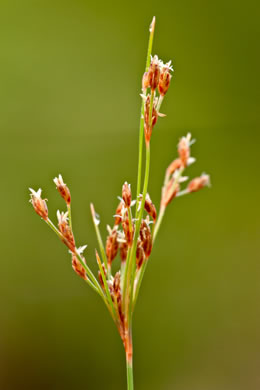 image of Bulbostylis coarctata, Elliott's Hairsedge
