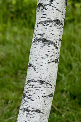 picture of Betula populifolia, image of Betula populifolia