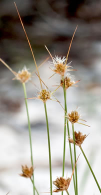 sessile: Bulbostylis warei, Ware's Hairsedge