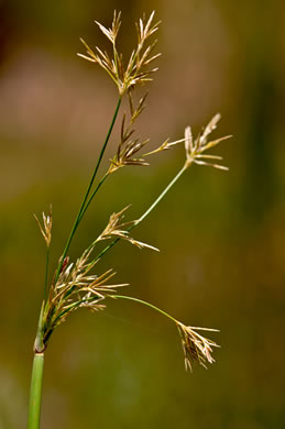 glabrous: Cyperus articulatus, jointed flatsedge