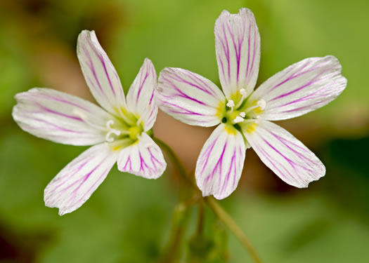 image of Claytonia caroliniana