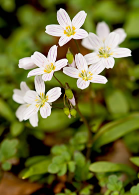 image of Claytonia caroliniana, Carolina Spring-beauty