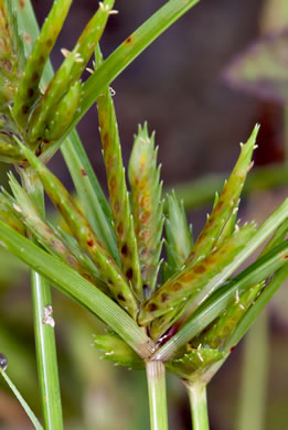 image of Cyperus compressus