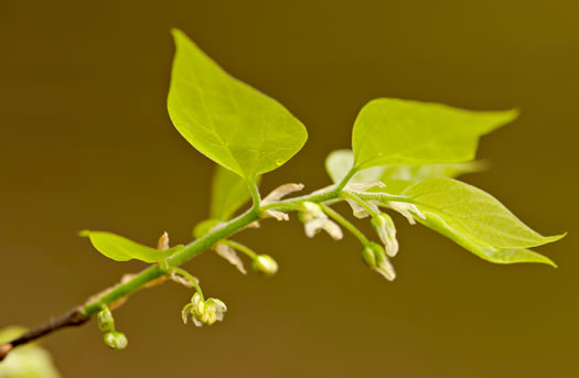 flower of Celtis laevigata, Sugarberry, Southern Hackberry, Smooth Hackberry, Lowland Hackberry