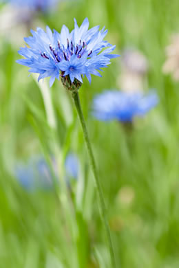 image of Cyanus segetum, Bachelor's Buttons, Cornflower