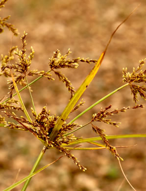 image of Cyperus iria, Rice-field Flatsedge