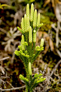 fruit of Dendrolycopodium hickeyi, Hickey's Tree-clubmoss, Pennsylvania Ground-pine