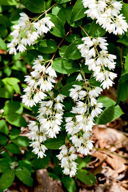 image of Deutzia scabra, Deutzia, Pride-of-Rochester