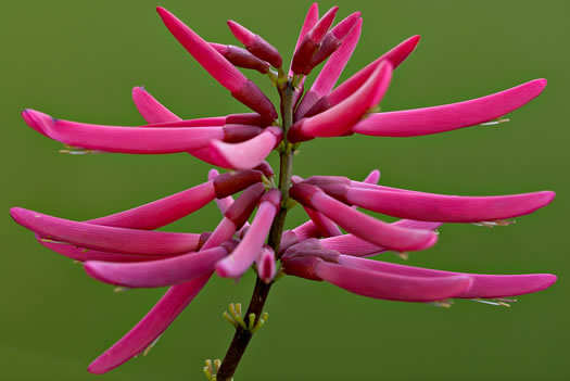 image of Erythrina herbacea, Coral-bean, Cardinal-spear