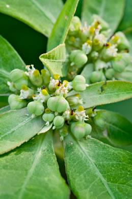 flower of Euphorbia heterophylla, Fiddler's Spurge, Mexican Fireplant