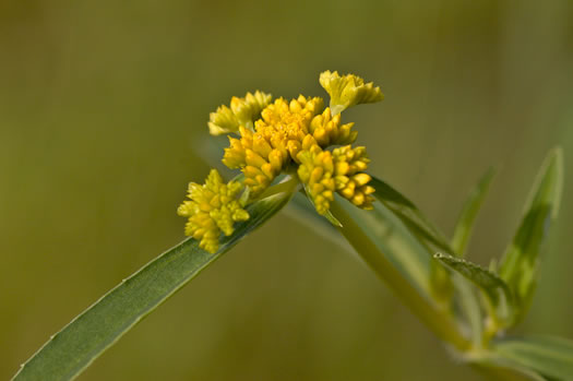 image of Flaveria bidentis, coastal plain yellowtops