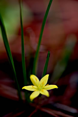 pedicel: Hypoxis juncea, Fringed Stargrass