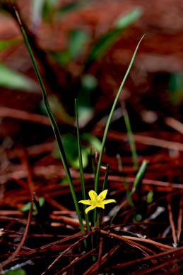 trichome: Hypoxis juncea, Fringed Stargrass