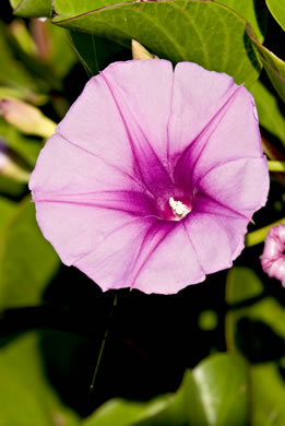 flower of Ipomoea pes-caprae var. emarginata, Railroad Vine, Bay Hops, Bay Winders, Goat's-foot
