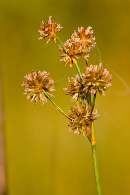 flower of Juncus megacephalus, Large-headed Rush