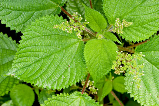 image of Laportea aestuans, West Indian Wood Nettle