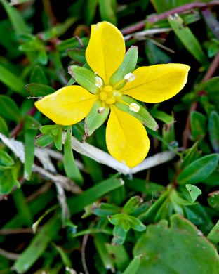 flower of Ludwigia arcuata, piedmont primrose-willow