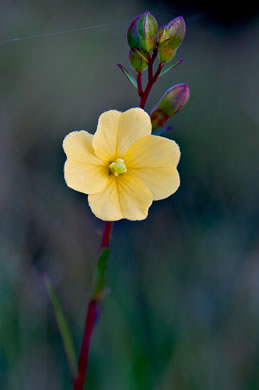 flower of Ludwigia maritima, Harper's Seedbox, Seaside Seedbox