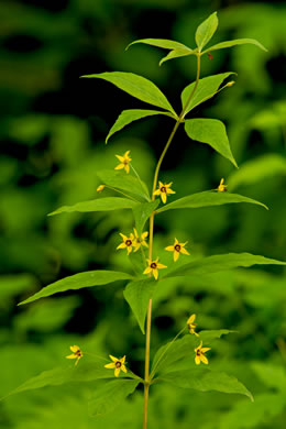 flower of Lysimachia quadrifolia, Whorled Loosestrife