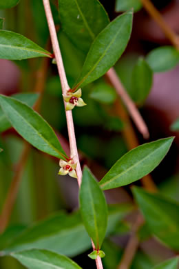 glabrous: Ludwigia repens, Creeping Seedbox