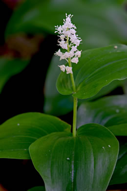 image of Maianthemum canadense, Canada Mayflower, False Lily-of-the-valley, Wild Lily-of-the-valley
