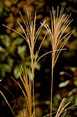 image of Miscanthus sinensis