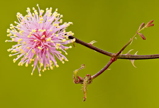 flower of Mimosa floridana, Florida Sensitive-briar, Powderpuff Mimosa