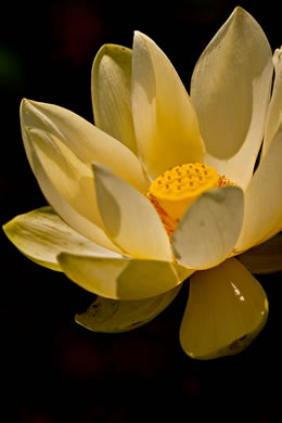Nelumbo lutea, Yonkapin, American Lotus-lily, Yellow Nelumbo, Pond-nuts