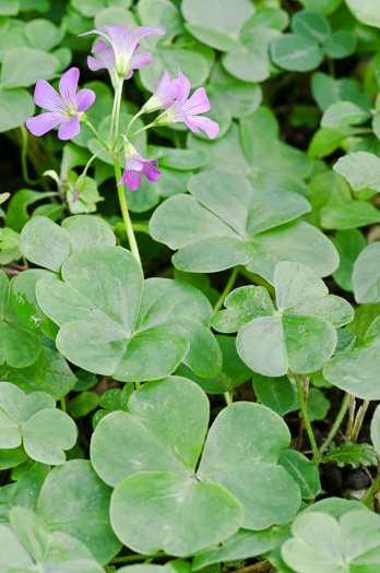 flower of Oxalis debilis, pink woodsorrel